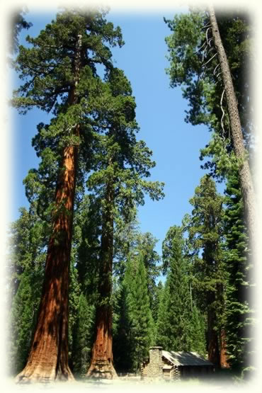 Visit some of the worlds largest trees. Over 200 Feet tall and up to 2,400 years old. See the cabin?